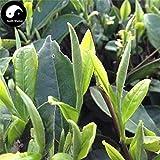 PLAT FIRM KEIM SEEDS: 30pcs: Kaufen Weißer Teebaum Samen Pflanze Fuding White Tea Für Fu Ding Bai Cha