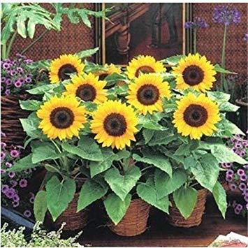 PlenTree `200 Mini Graines de tournesol nain de tournesol Graines de tournesol Série Hauteur 40Cm Graines de fleurs