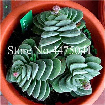 pinkdose 200 pz mix color succulente mini cactus flowerseedss, giardino bonsai raro fiore cactus mini pianta succulento, facile da coltivare r: 9