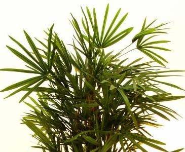 Steckenpalme, künstliche Palme mit 1079 Blätter, Höhe 180cm – Kunstpalme Dekopalme