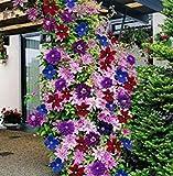 100pcs Semillas Flores de Clematis, Semillas de Plantas Trepadoras, Jabonera Rocosa Saponaria Ocymoides para Jardin, Balcón (tipo 9)