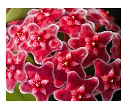 1x Hoya Coronaria Red Flower Pianta Pentola Fiore di Cera Fiore Co4
