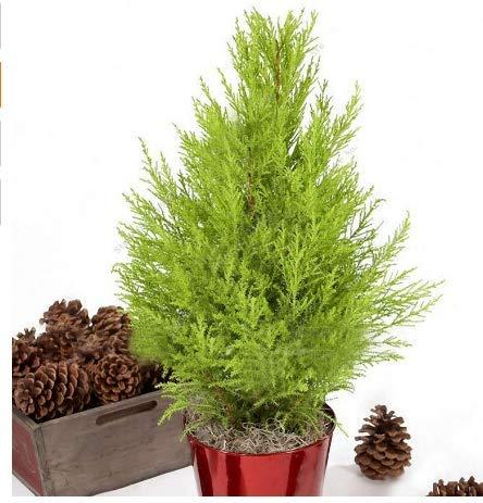 KINGDUO 50 Pcs Ciprés Italiano Semillas De Árbol Cupressus Sempervirens Home Garden Bonsái Plantación Semillas
