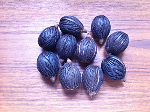 PLAT FIRM GERMINATIONSAMEN: Foxtail Palm Samen 10 Samen Wodyetia bifurcata 10 frische Samen