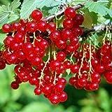 Vivai Le Georgiche Ribes Rosso Tardivo