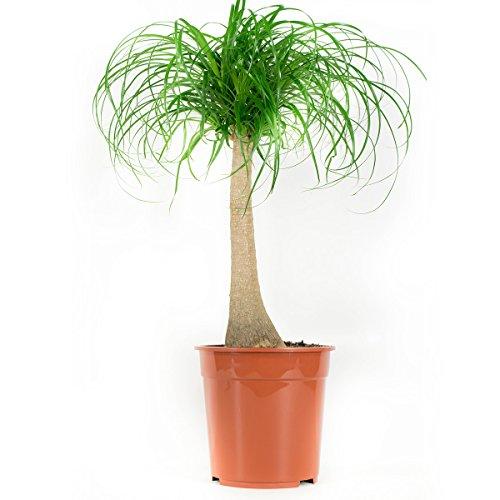 pianta d'appartamento da botanicly - nolina - altezza: 80 cm - beaucarnea recurvata