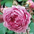 Englische Rose Alan Titchmarsh ® Ausjive ® Containerrosen im großen 7,5 Liter Topf von Gartencenter Bartels - Du und dein Garten