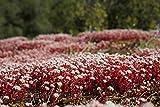 Sedum 50 Samen Dragon's Blood- Rot Kaukasische Bodendecker-Fetthenne Samen