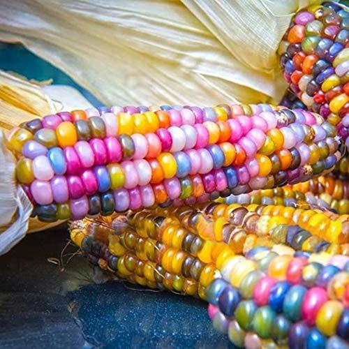 Masoke Samenhaus - Seltene Popcorn-Samen Bunter Zuckermais-Regenbogen-Mehl-Mais-Maiskolben-Gemüsesamen-Maissamen (50 Pcs)