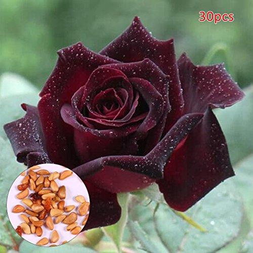 Beetrosen Blumenmeer, Parfum-Rose