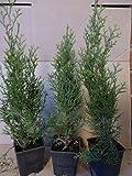 Thuja Lebensbaum Smaragd Topfballen 30-35 cm 25 St. Hecke Heckenpflanze