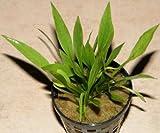 1 Bund Echinodorus latifolius, Zwergschwertpflanze