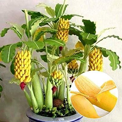 100 pcs Schnellwachsende Essbar Zwerg Banana Tree Samen Bonsai Banane Samen von Bayram bei Du und dein Garten