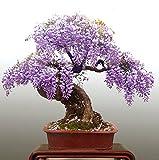 Trasporto libero, semi di glicine 10 semi / pack mini bonsai semi di albero di glicine raro oro piante ornamentali da interno