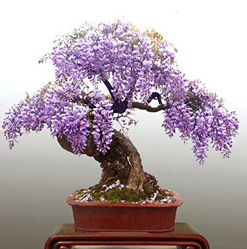 Semi di glicine 10 semi pack mini bonsai semi di albero for Glicine bonsai prezzo
