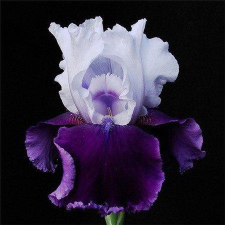 Galleria fotografica Vendita! , Vendita calda, 20 Rosa Iris Semi, popolare perenne giardino Fiore, splendido fiore da taglio