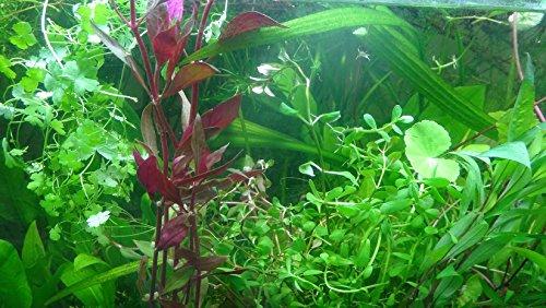50 plantas de acuario en vivo colección de plantas acuáticas para su tanque de peces - Plantas de acuario