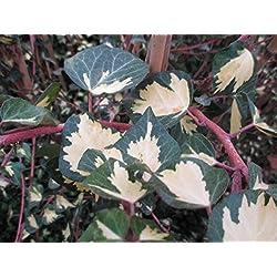 Grüngelber Efeu - Hedera helix - Goldheart - immergrüne Kletterpflanze, Sichtschutz, 40-60 cm