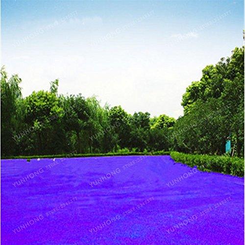 500 Pcs Rare Blue Grass Seed Graines à gazon Fleurs vivaces Jardin Terrains de soccer Villa Haute GradeOutdoor Graine de plantes 4