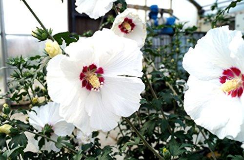 Hibiskus weiße Blüte Rosen-Eibisch Red Heart Hibiscus syriacus Red Heart Containerware 40-60 cm hoch,