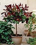 Glanzmispel-Kugel-Stämmchen Red Rubin® rotblättrig. 1 Pflanze - zu dem Artikel bekommen Sie gratis ein Paar Handschuhe für die Gartenarbeit dazu
