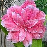 piante Big Vero Amaryllis Bulbi Indoor & Outdoor in vaso Fiori, bulbi da fiore tasso di sopravvivenza è alta (non semi) -1 lampadine 12