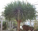 Seedeo Drachenbaum  6 Samen