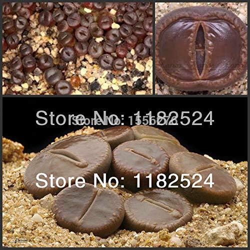 Go Garden - Lithops Aucampie 50pcs var Aucampie Semillas succulente rare ~ pierres vivantes d'Afrique du Sud (SP0022)