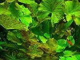 Mutterpflanze XXL + 35 Wasserpflanzen + 6000 L. Dünger, Aquariumpflanzen