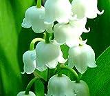 Convallaria Majalis, Lily of the Valley/Convallaria Majalis, lirio de los valles - bulbo/tubérculo/raíz