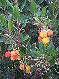 Westlicher Erdbeerbaum Arbutus unedo Pflanze 30cm...