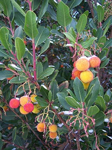 Westlicher Erdbeerbaum Arbutus unedo Pflanze 30cm Meerkirsche Hagapfel Früchte