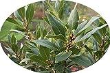 Gewürzlorbeer Laurus nobilis Echter Lorbeer Pflanze 20cm Edler Lorbeer Gewürz