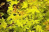 Fächerahorn 'Summergold' (Acer palmatum), Ahornbaum winterhart, Ahorn-Strauch im Topf Höhe 80-100 cm mit gelben Blättern