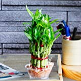 #6: Ugaoo Lucky Bamboo 2 Layer Plant