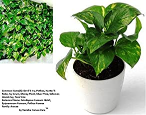 Live Money Plant Best Indoor Air Purifying Plants Vastu and Feng Shui