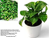 #7: Vamsha Nature Care Good Luck money Plant in ceramic square pot