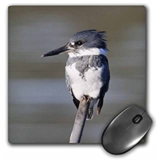 VWPics Birds - Belted Kingfisher.(Ceryle alcyon).Back Bay Reserve,California - MousePad (mp_45745_1)