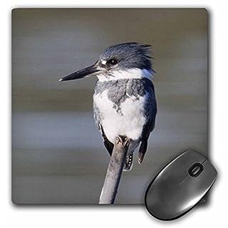 VWPics Birds - Belted Kingfisher.(Ceryle alcyon).Back Bay Reserve,California - MousePad (mp_45745_1)