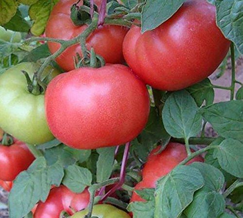 Seltene Samen Rosa Tomate Demidov Organisch gewachsen russische Erbstück NON-GMO
