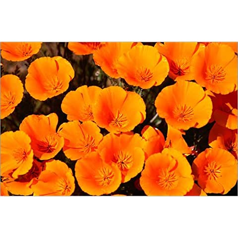 Impresión en madera 80 x 50 cm: California poppy de John Elk III / Lonely Planet Images / Getty