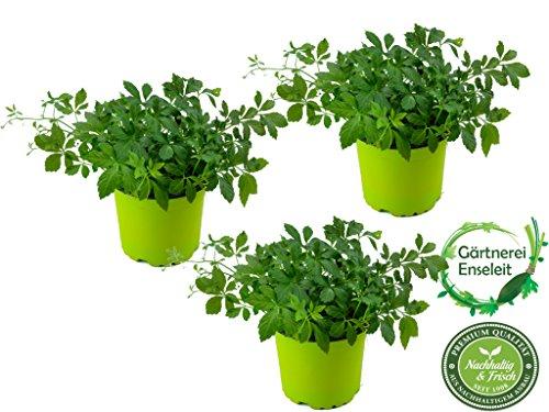 Jiaogulan Gynostemma pentaphyllum, 3 Pflanzen Jiaogulan Kraut der Unsterblichkeit, vegetativ vermehrt!