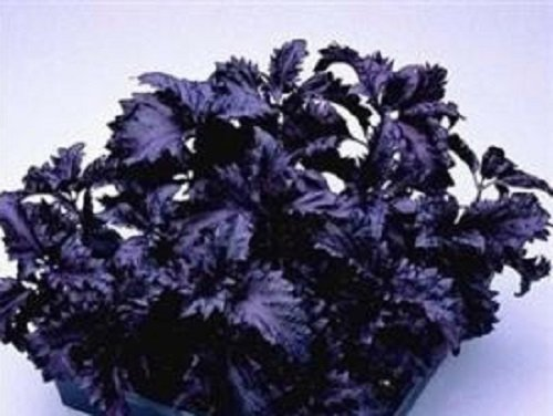 herb-seeds-basil-purple-ruffles-250-seeds