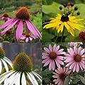 lichtnelke - Stauden-Paket mit 10 Pflanzen Sonnenhut (Echinacea und Rudbeckia) von Lichtnelke Pflanzenversand bei Du und dein Garten