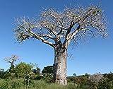 SANHOC Las semillas del paquete: Onia Digitata - Baobab - RareSeed Seed & Bonsai Semillas (5)