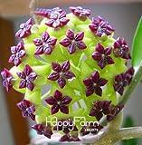 Nuovi semi freschi Hoya Semi, vaso Hoya Carnosa di fiori piante da seme giardino perenne Piantare Orchid Semi 100 parti / pacchetto, # 4 IRJ4ZT