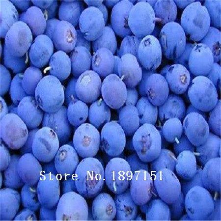 Vente de grandes 100 pièces de myrtilles semences graines de fruits de semence de myrtille en pot