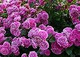 Schöne purpurrote Kletterrose Samen 80 Samen -BUY 4 PUNKTE