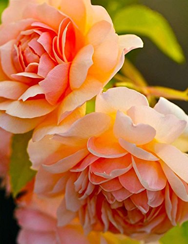 Ncient 10 Semi Sementi di Peonia Multicolore 16 Tipi Adorabile Semi di Fiori Rari Pianta Profumati per Orto Giardino Balcone Interni ed Esterni