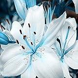 HEISSER Verkauf 200 PCS 25 Farben Lily Samen Günstige Parfüm Lilien Samen Seltene Farbe Blumen-Garten-Anlage Mischen verschiedener Sorten Sky Blue